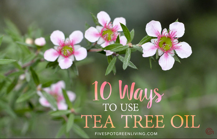 10 Amazing Tea Tree Essential Oil Uses - FiveSpotGreenLiving.com