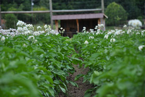 Growing Potatoes in Any Climate, Space or Container