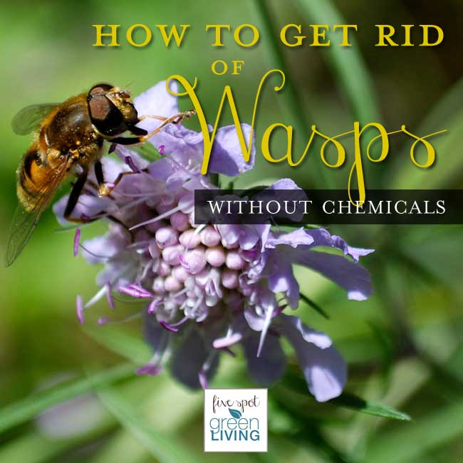How to Get Rid of Wasps and Hornets - Five Spot Green Living