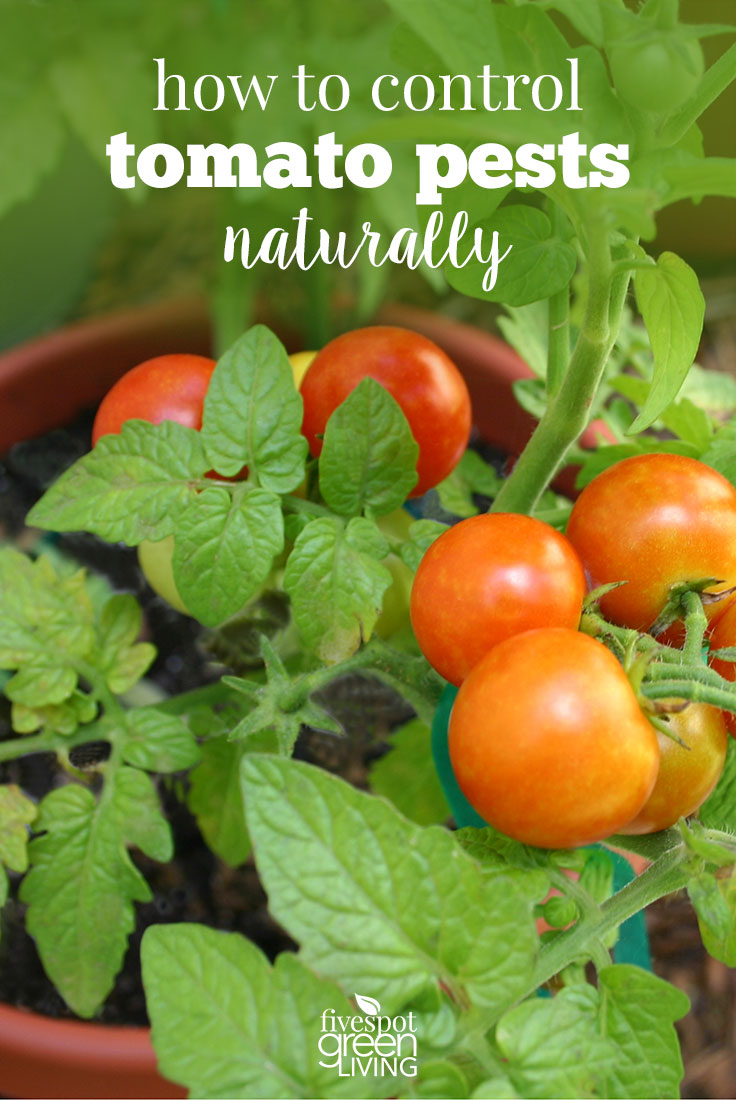 How to Control Common Tomato Pests Naturally