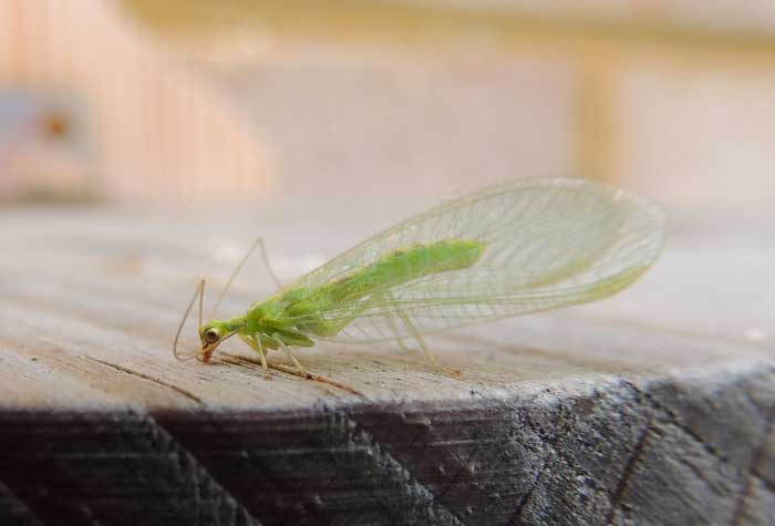 blog-garden-critters-lacewing Garden Friendly Bugs to Tell Your Kids About