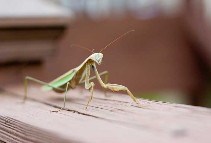 blog-garden-critters-mantis Garden Friendly Bugs to Tell Your Kids About