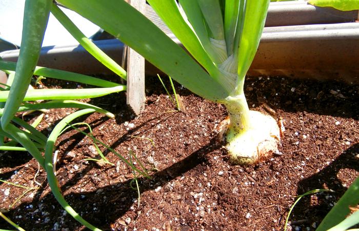 Onions for Beginner Gardeners
