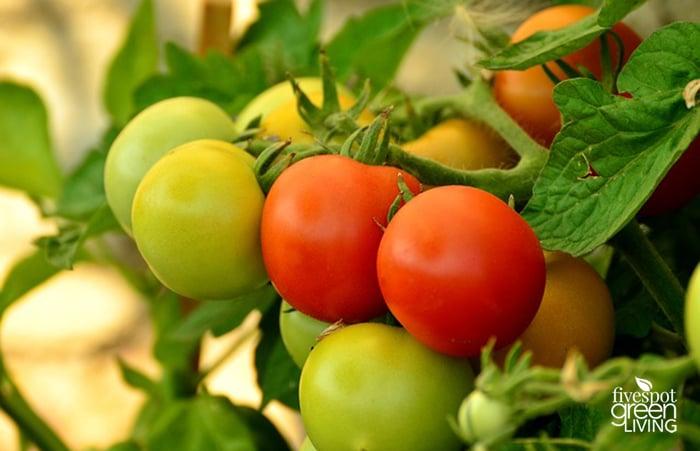Tomatoes for Beginner Gardeners