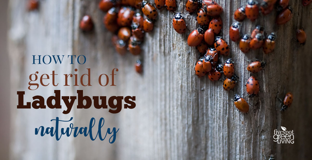 How to get rid of lady beetles