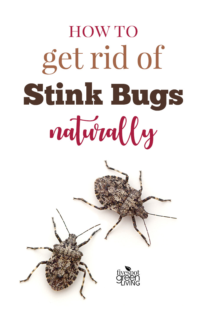 How to Get Rid of Stink Bugs Naturally - two stink bugs on white