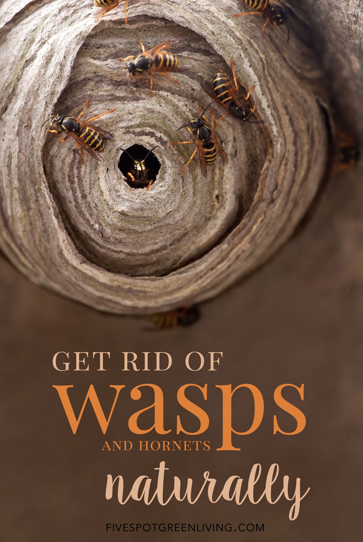 How to Get Rid of Wasps and Hornets Naturally without Chemicals