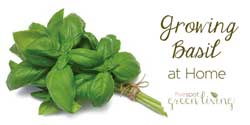 blog-herb-growing-basil-home Container Gardening with Kids