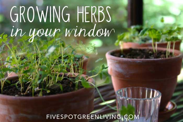 Growing Herbs Indoors in Your Kitchen Window