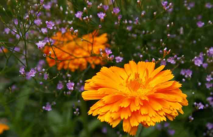 Marigold is a mosquito repellent plant
