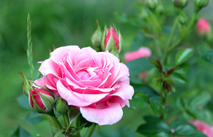 Rose flower for skin health