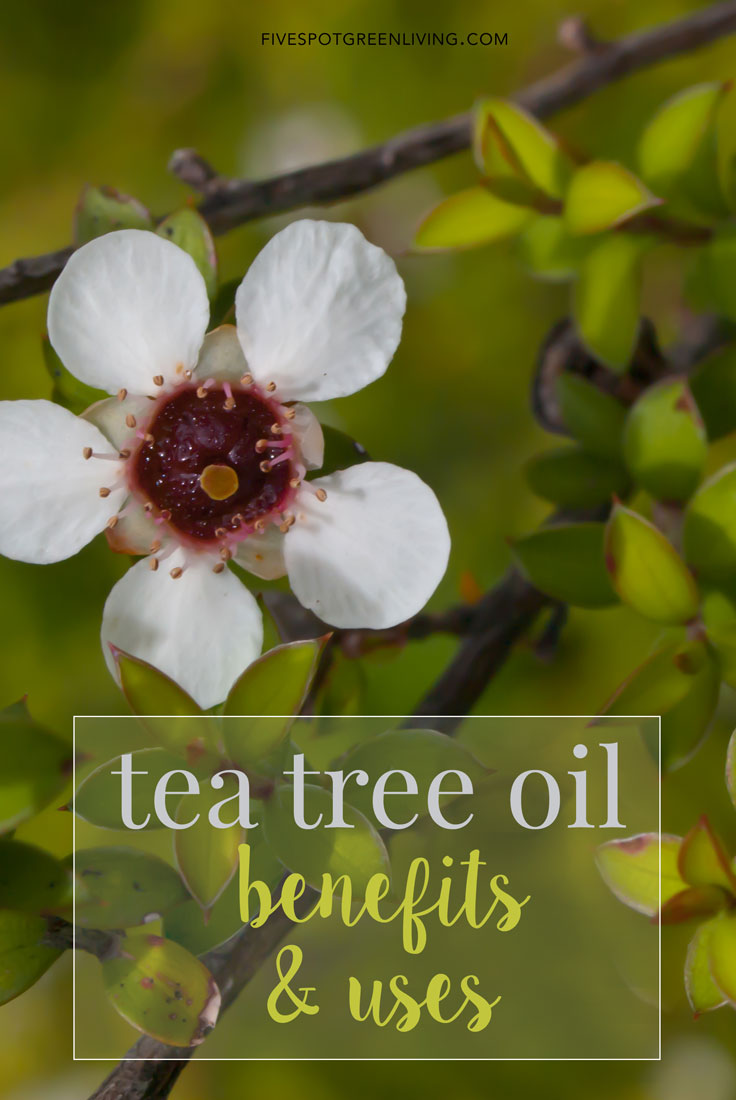 Tea Tree Uses: Why You Need to Use this Plant