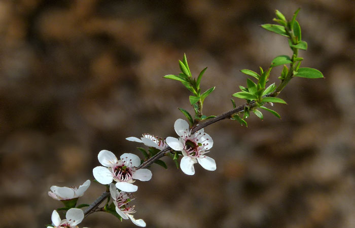 blog-tea-tree Tea Tree Oil for Cuts and Scrapes