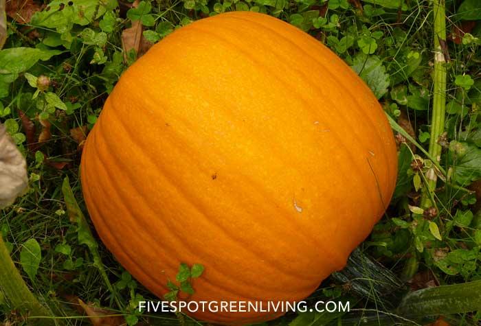 Best 5 Veggies for Beginner Gardeners FiveSpotGreenLiving.com