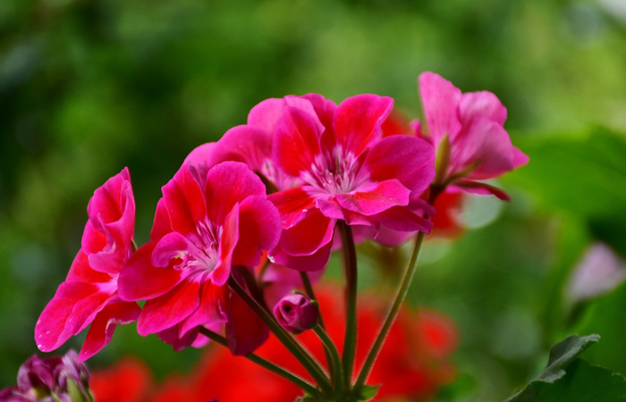 geraniums to repel wasps