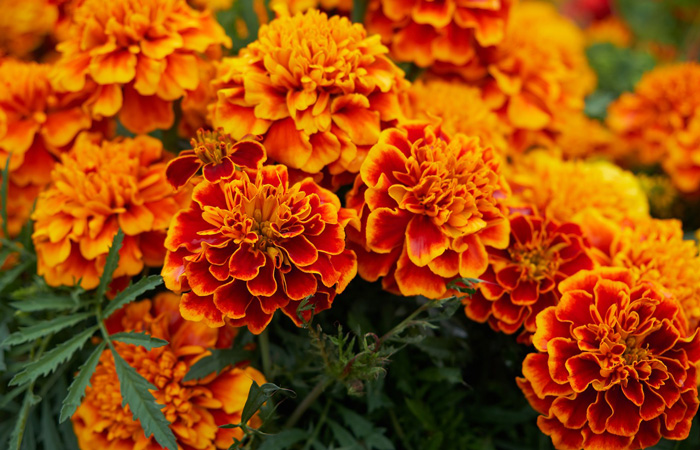 marigolds to repel wasps
