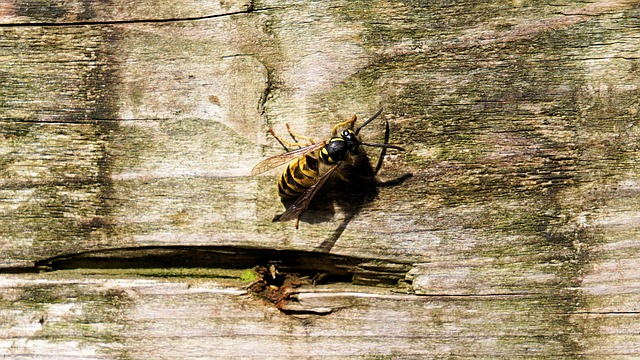 wasp in wood