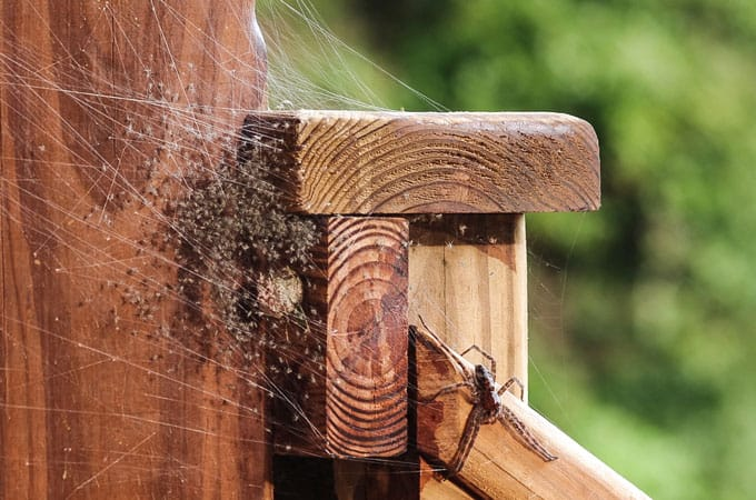 homemade spider repellent using peppermint oil for spiders