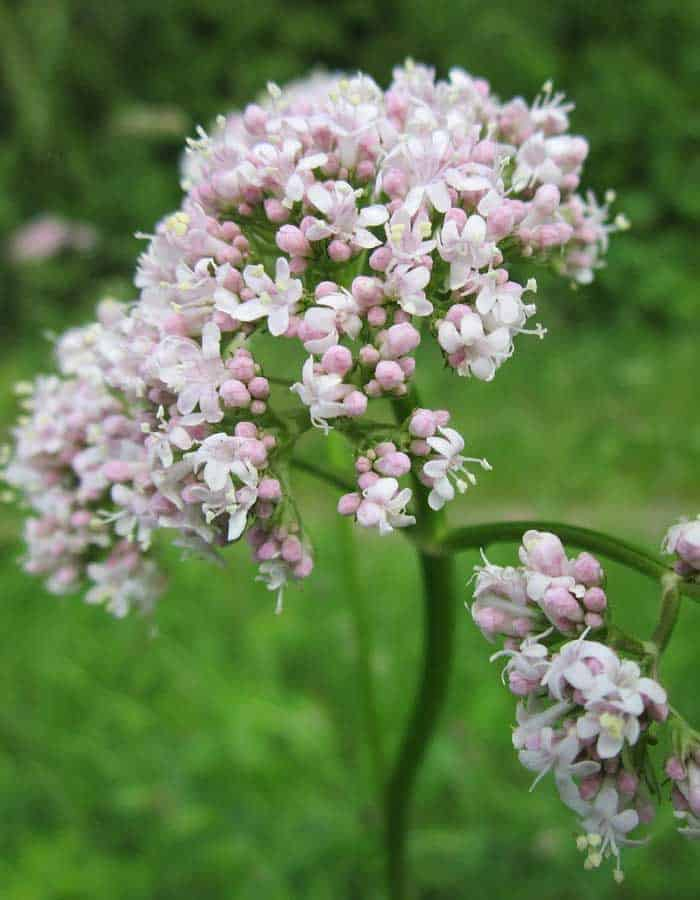 valerian The Best Natural Remedies for Anxiety