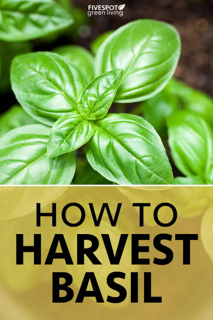 How to Harvest Basil from Your Herb Garden