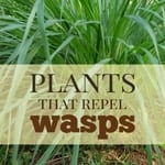 best wasp deterrent plants