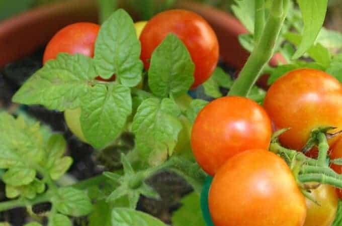 tomato plant pest control