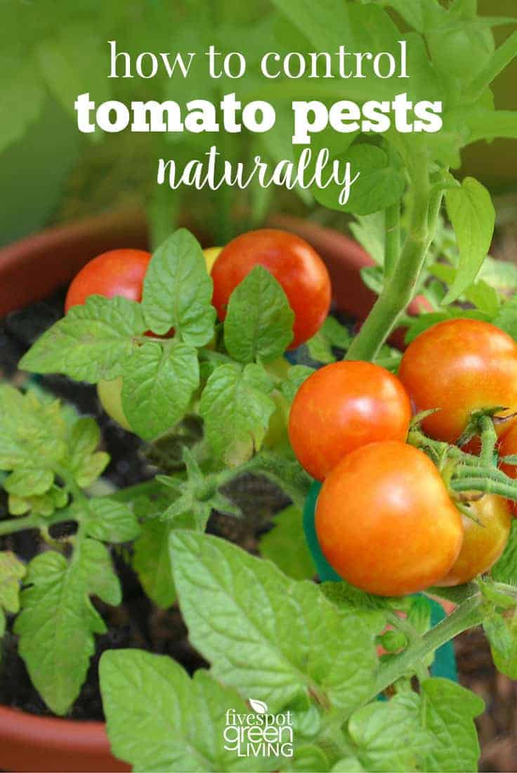 Natural Remedy For Tomato Plants