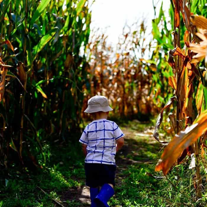 corn maze autumn activity