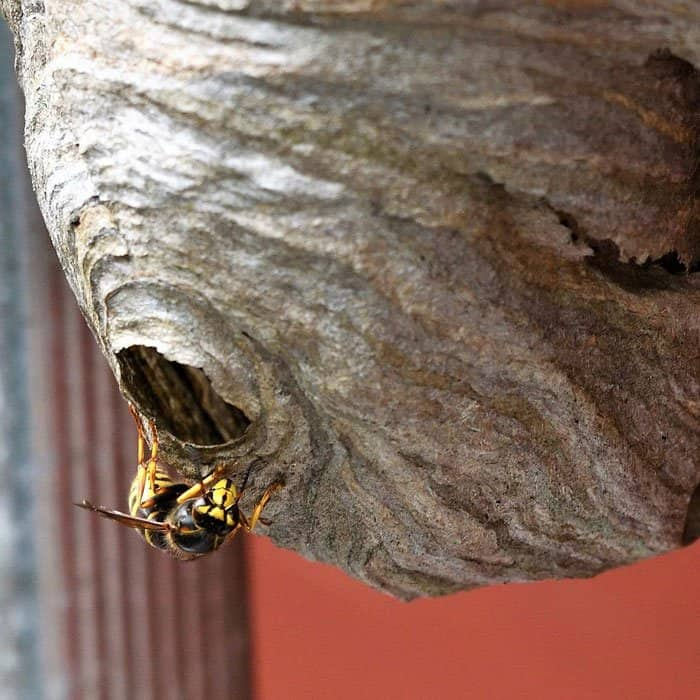 How To Use Peppermint Oil For Wasps.
