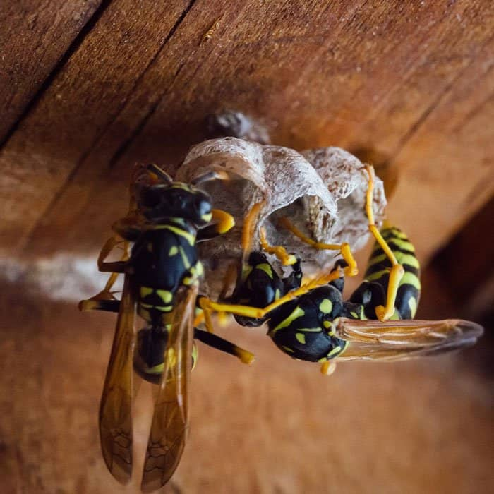 insect-3081008_1920 How to Get Rid of Wasps and Hornets Without Chemicals