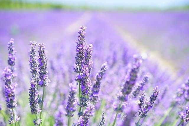lavender essential oil plant