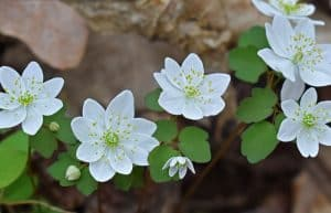 rue anemone plant to deter cats