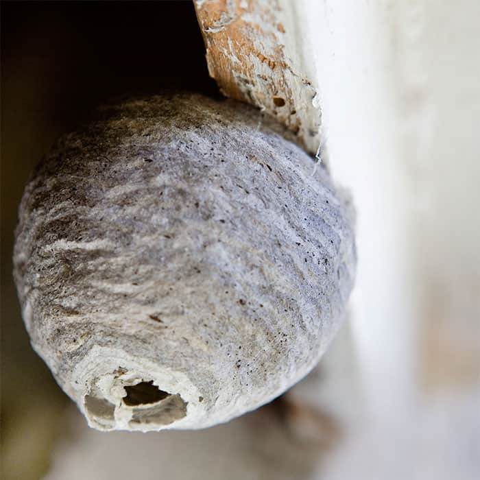 wasp nest at home