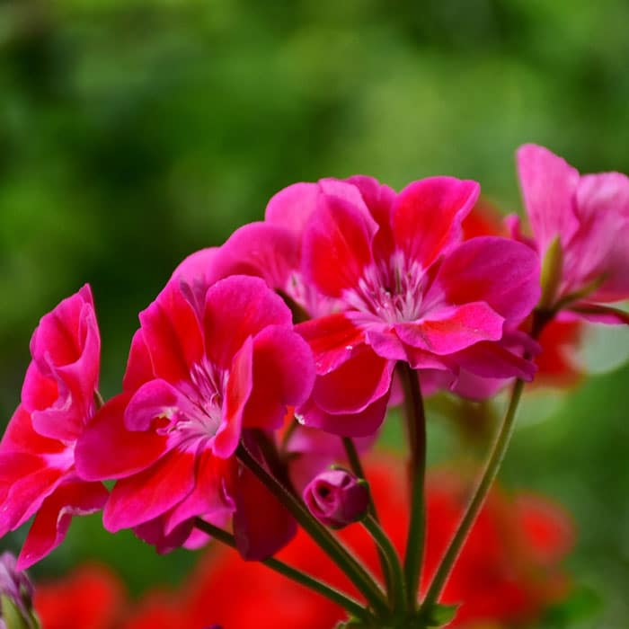 geranium for wasp deterrent