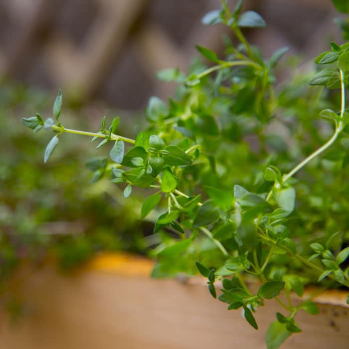 thyme for wasp repellent
