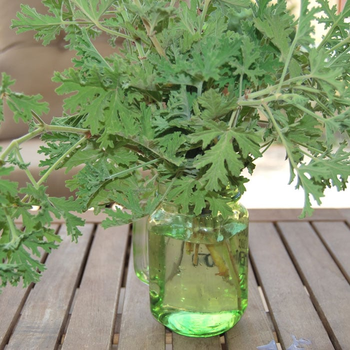 citronella-plant-jar How to Get Rid of Fleas Naturally with Essential Oils