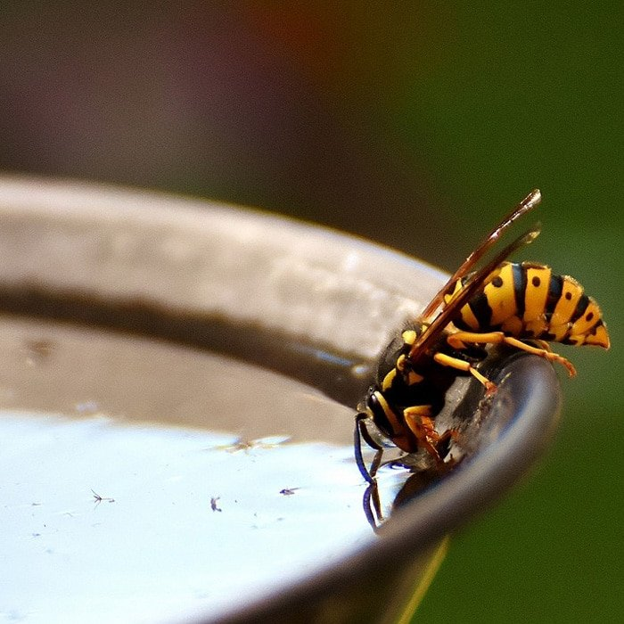 wasp in water bath