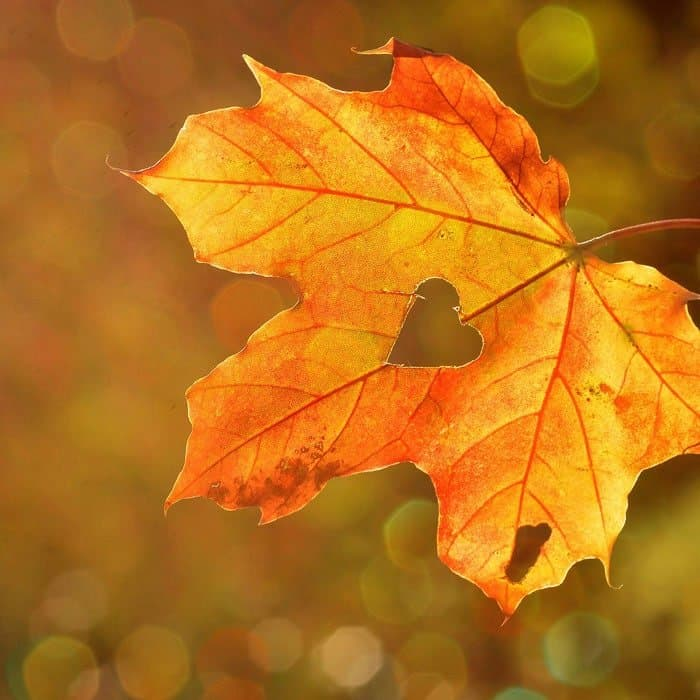 Fall autumn leaf with heart in the middle