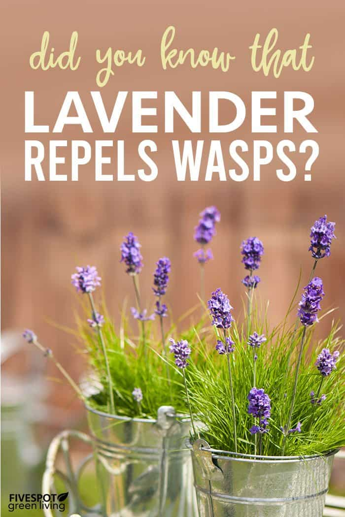 Does Lavender Repel Wasps?