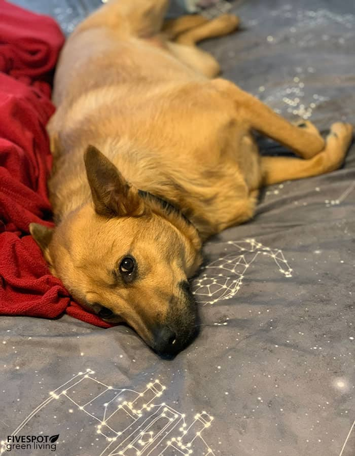 annie dog sleeping in bed