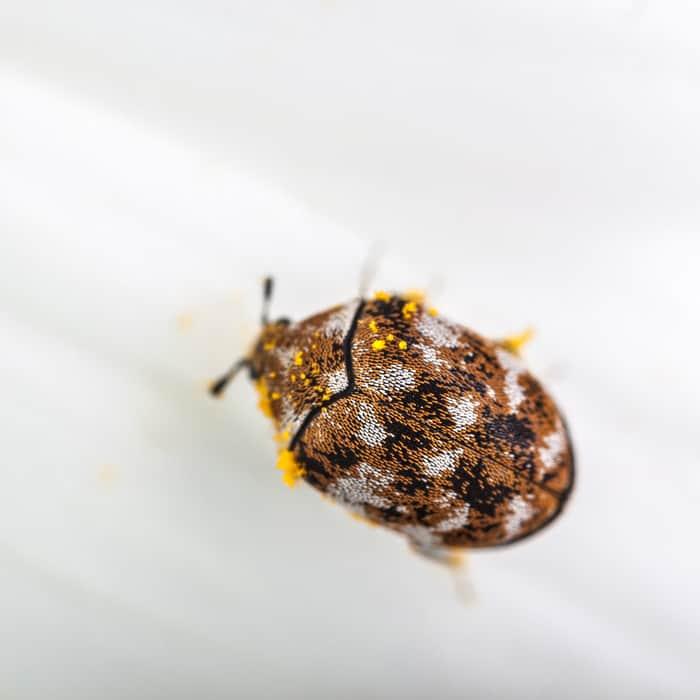 essential oils for larder beetles
