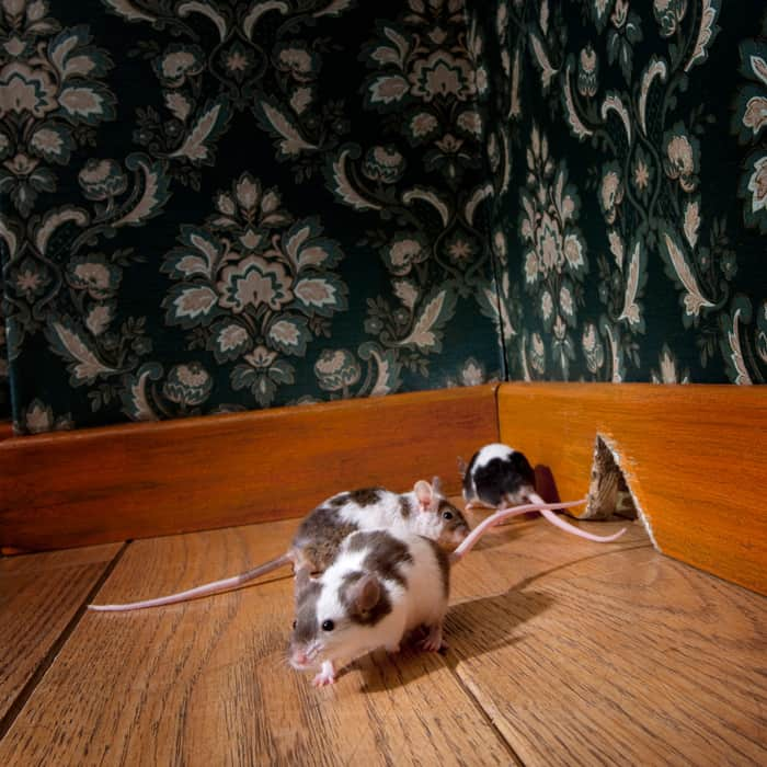 How to Get Rid of Mice Naturally